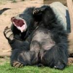Laughing Sloth bear — Stock Photo #35586753