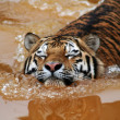 Swimming tiger — Stock Photo #35586875