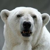 Niedźwiedź polarny portret — Zdjęcie stockowe