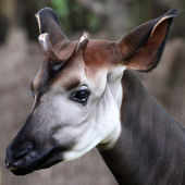 Okapi — Stock Photo