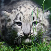 Young snow leopard — Stock Photo