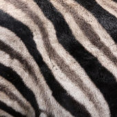 Fur of a Zebra — Stock Photo