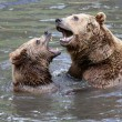 Brown Bears Fighting in the Water — Stock Photo #42215085