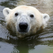 Swimming Polar bear — Stock Photo