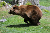 Speedy Brown Bear — Stock Photo