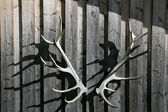 Deer antler — Stock Photo