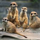 Family of Meerkats — Stock Photo