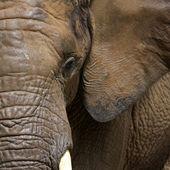 Elephant portrait — Stockfoto