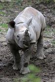 Young black rhino — Stock Photo