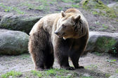 Kodiak bear — Stock Photo