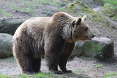 Orso kodiak — Foto Stock