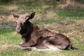 Young moose — Stock Photo