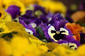 Pansy flower plant natural background — Stock Photo