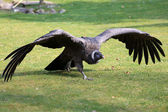Andean condor — Stock Photo
