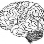 人間の脳の構造 — ストック写真