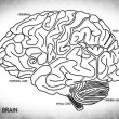 The human brain structure — 图库照片