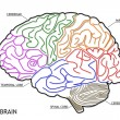 The human brain structure — Stockfoto