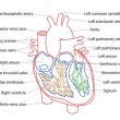Human Heart structure — Stock Photo #15855183