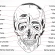 Human Skull structure - Stock Photo