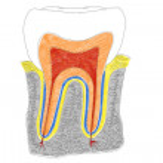 Постер, плакат: Human Tooth structure