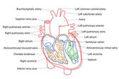 Human Heart structure — Foto Stock