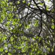 Springtime sycamore tree — Stock Video