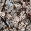 Stock Video: Cherry tree