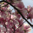 Liriodendron tulip tree spring japanese garden — Stock Video