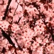 Cherry tree — Stock Video