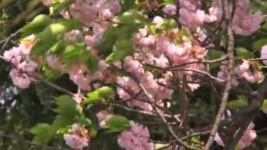 Cherry blossom tree — Stock Video