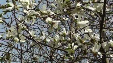 Liriodendron tulpanträd vår japanska trädgård — Stockvideo