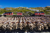 Stock fish on Lofoten — Stock Photo