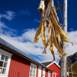 Stock fish on Lofoten — Stock Photo