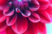 Red dahlia close up — Stock Photo