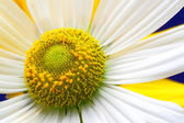 Camomile flower close up — Stock Photo