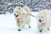 Race of draft dogs — 图库照片