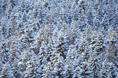Winter coniferous forest — Stock Photo