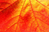 Maple leaf close up background — Stock Photo