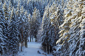 Winter coniferous forest background — Stock Photo
