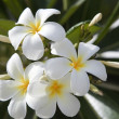 Plumeria Flowers - Stock Photo