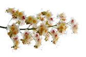 Chestnut flowers — Stock Photo