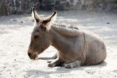 Donkey lying on the sand — Stock Photo