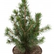 Christmas tree in a pot — Stock Photo #18964035
