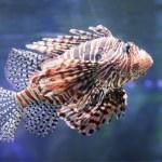 Lionfish. — Stock Photo #18964155