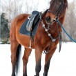 Horse with a saddle — Stock Photo