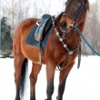 Stock Photo: Horse with saddle
