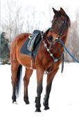 Cavallo con sella — Foto Stock