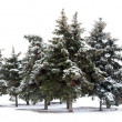Trees spruce — Stock Photo