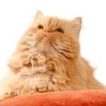 Red cat — Stock Photo