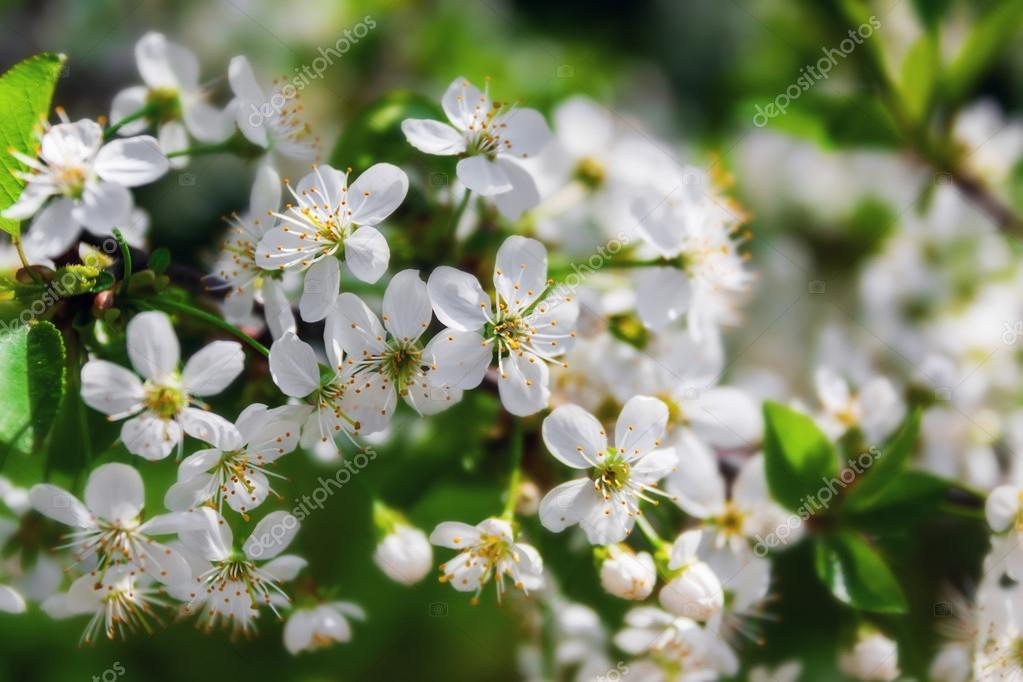 Cherry blossom — Stock Photo #13784260